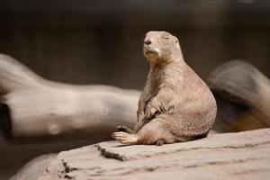 A prairie dog rests.